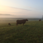 Cattle enjoying the cool of the morning before the heat of the day