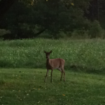 Deer are plentiful.  This young doe has two fawns hidden in the tall grass.